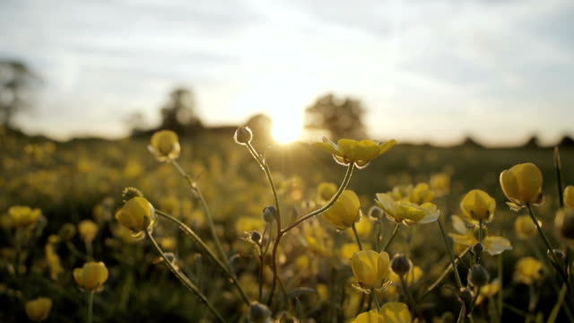 Pretty Buttercup Meadow At Sunset video