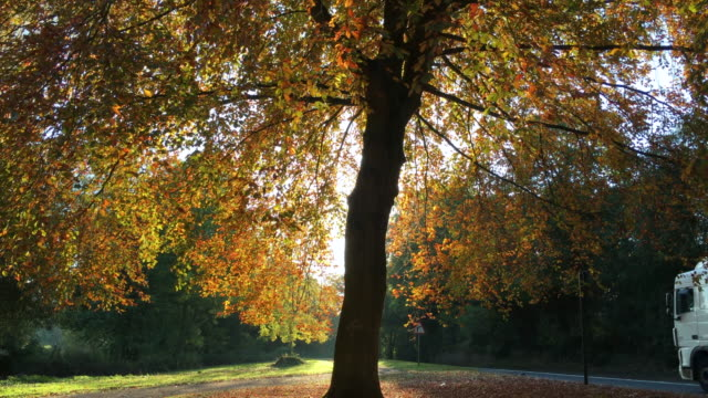 Pretty golden maple tree at sunrise in the middle of the Autumn Fall video