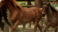 Pretty horses running together video
