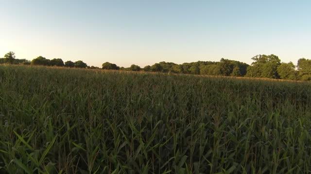 Pretty Maize Crop Field At Sunset video