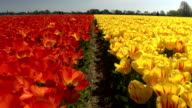 CLOSE UP: Pretty red and yellow colorful tulips separated by small walkway video
