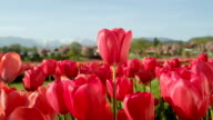 CLOSE UP: Pretty rosy red silky tulips blooming on amazing field on sunny day video