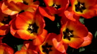 CLOSE UP: Pretty wide opened red blooming tulips swaying in gentle spring wind video