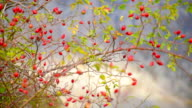 prickly branches of rose hips video