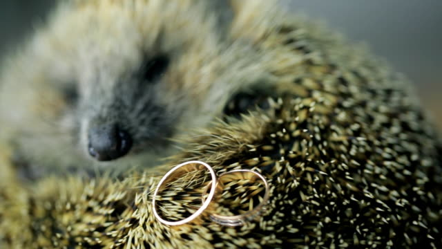 Prickly hedgehog on photosession with gold wedding rings indoors video