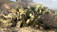 Prickly Pear Cactus Blowing In Wind video