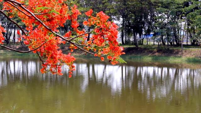 Pride of Barbados trees on the lake bank video