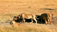Pride of lions eating a pray in Masai Mara video