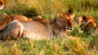 Pride of lions, Masai Mara National Park, Kenya video