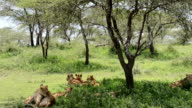 Pride of Lions Under a Tree video