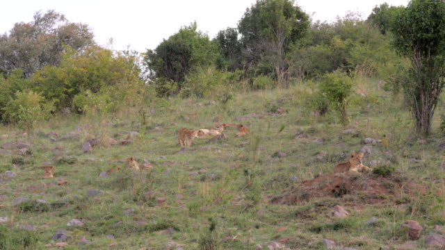 Pride Of The Lioness And The Lion Resting Lying By The Savannah Bush video