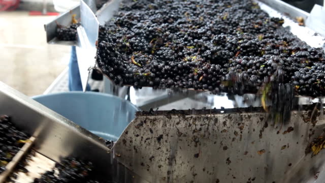 Processing Pinot Grapes for Wine video