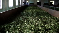 production of Indian tea video