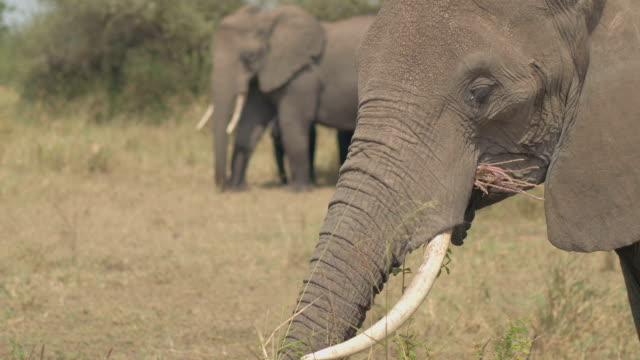 CLOSE UP: Profile of cute mother elephant grazing on grass using her long trunk video