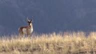 Pronghorn Antelope Buck video
