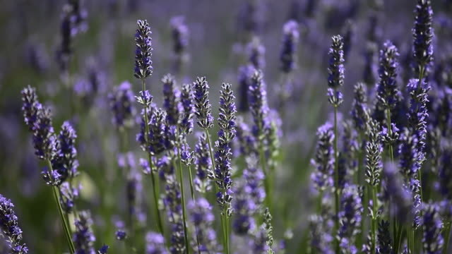 Provence, typical lavender landscape. video