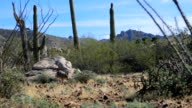 Prowling Coyote, anis latrans in the Sonoran Desert video