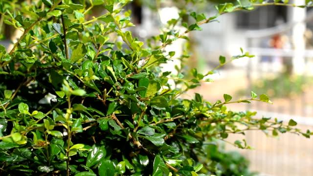 Pruning of trees with garden scissors video