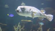 Puffer fish video