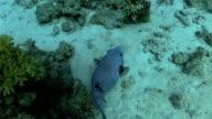Pufferfish on Coral Reef video