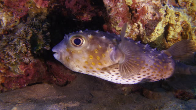 pufferfish video