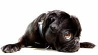 Pug Dog Black video
