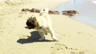 Pug dog playing on the beach. Slow motion. video