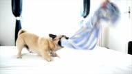 Pug dog playing. Slow motion video