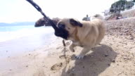 Pug dog playing with owner on the beach video