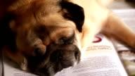 Pug dog Sleeping in Books video
