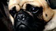 Pug dog video
