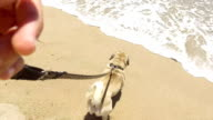 Pug dog walking on the beach. video