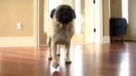 Pug dog walking through home video