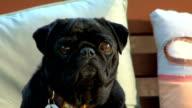 Pug look alert video