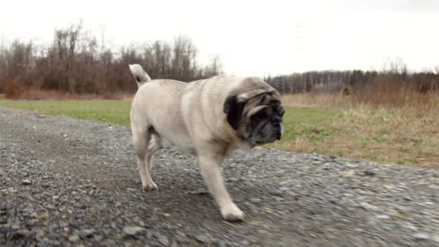 Pug talking a short walk around the park video
