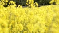 Pull Focus Field of waving yellow rapeseed flowers video