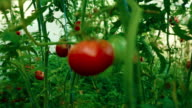 Pull Focus Shot of Local Produce Organic Tomatoes with Vine and Foliage in Greenhouse video