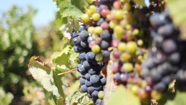 Pull focus to wild grapes in vineyard video