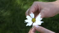 Pulling petals off a daisy video
