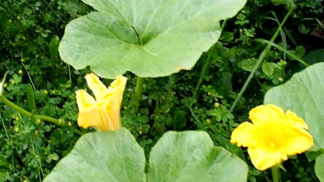 Pumpkin patch in the garden VIDEO video