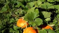 Pumpkin vegetables growing in organic food farm plantation. Tilt up video