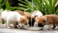 Puppies dog eating milk video