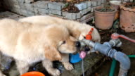 Puppies Drinking from Tap Water video