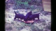 1957: 3 Puppies happily eating from large dog food bowl of chunky hotdog sausages. video