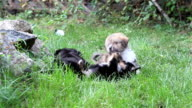 Puppies playing on grass video