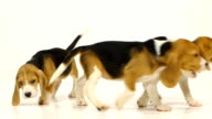 Puppy beagle on a white background. Slow motion video