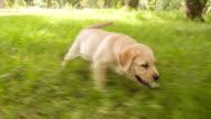 Puppy chasing tennis ball video