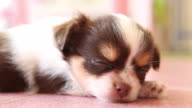 Puppy chihuahua sleeping on floor, Closeup. video
