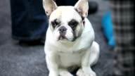 puppy  french bulldog video