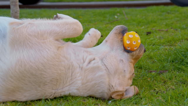 Puppy playing with a ball in the grass video